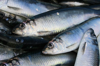 2019 Celtic Sea Main Herring Fishery Closed